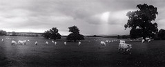Cows - 18Sep13, Island (France) (°]°) Tags: sky blackandwhite bw cloud tree film animal analog 35mm landscape island cow lomography angle noiretblanc kodak tx pano horizon trix wide grand wideangle panoramic nb 400tx scan ciel 400 prairie 135 nuage paysage 35 arbre perfekt vache argentique panoramique négatif pellicule kodaktrix400 widelens grandangle horizonperfekt 120°