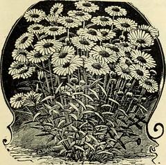 Anglų lietuvių žodynas. Žodis chrysanthemum lacustre reiškia chrizantema lacustre lietuviškai.