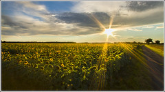 Sunflowers (Maw*Maw) Tags: flowers sky france canon eos skies farming sunflowers 7d sunflower agriculture hdr ps6