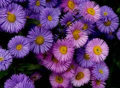 Memorial University of Newfoundland Botanical Gardens (John Strung) Tags: flowers canada newfoundland stjohns botanicalgardens newfoundlandandlabrador memorialuniversityofnewfoundland roadtrip2014