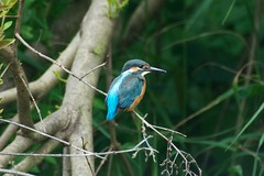 Kingfisher (macmmh) Tags: 鳥 カワセミ