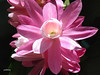 A  lovely pink cactus in my garden (pat.bluey) Tags: pink flowers friends light cactus australia newsouthwales blacktown 1001nights mygarden 1001nightsmagiccity hennysgardens sunrays5