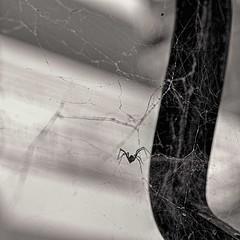 Untitled (PattyK.) Tags: blackandwhite spider nikon web athome ilovephotography ioannina amateurphotographer   nikond3100