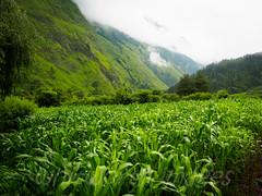 Maize (whitworth images) Tags: nepal sky cloud green nature field leaves landscape outdoors grey corn asia farm scenic nobody nopeople scene valley monsoon crop produce agriculture himalaya maize damp rainyseason wetseason ghasa annapurnaconservationarea myagdi