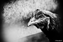 spirits and chickens (blacqbook) Tags: blackandwhite food macro bird eye chicken nature animal closeup female natural head profile beak feathers meat poultry trinidad fowl creature hen blacqbook domesticated freerange grainfed