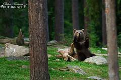 Brown bear photos (13) (ajastaika) Tags: bear nature animal finland brownbear karhu wildanimals ursusarctos ruskeakarhu martinselkonen pirttivaara