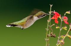 Hummingbird (snooker2009) Tags: flower bird nature hummingbird wildlife flight ruby hummer hovering hover