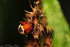 Rambur's Pied Shieldbug (RudaPhoto) Tags: macro nature closeup bug nikon wildlife ngc meadow meadows insects makro tamron insekten invertebrates macrophoto shieldbug macrophotography d90 owady zwierzta tamron90mm28 specinsect zblienie nikonnaturephotography macrodream atclose