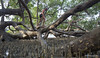 Mangrove XOKA1688bs (forum.linvoyage.com) Tags: mangrove trees young small men climbing indian ocean andaman sea phuket phang nga koh ko rang yai капитан карабкается мангровые леса дерево ростки молодые пхукет индийский океан пандаманское море остров ранг яй phuketian phuketphotographernet forumlinvoyagecom httpforumlinvoyagecom outdoor samui thailand krabi pattaya таиланд самуи тайланд краби паттая лето тропик тропики
