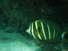 Hanauma Bay Snorkeling (tquist24) Tags: summer fish geotagged hawaii nikon underwater oahu july snorkeling tropical hanaumabay 2014 sailfintang nikoncoolpixaw100