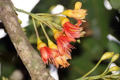 Castanospermum australe  Black Bean (Jurgen H) Tags: blackbean fabaceae castanospermumaustrale castanospermum arfp nswrfp qrfp arfflowers orangearfflowers tropicalarf subtropicalarf