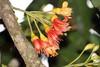Castanospermum australe – Black Bean (Jurgen H) Tags: blackbean fabaceae castanospermumaustrale castanospermum arfp nswrfp qrfp arfflowers orangearfflowers tropicalarf subtropicalarf
