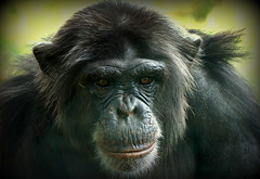 A friendly face (SteveJM2009) Tags: uk portrait hairy smile face lines mouth hair nose eyes focus dof chimp head character august dorset chimpanzee wrinkles monkeyworld stevemaskell 2014 pantroglodytes longthorns aperescuecentre naturethroughthelens