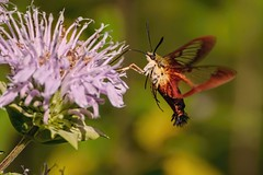 Hummingbird Clearwing Moth (brev99) Tags: flower insect flying moth chester topaz hummingbirdclearwingmoth topazdetail tamron70300vc highqualityanimals kaysenvironmentalcenter