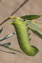 species: Laothoe populi. Poplar Hawk-moth caterpillar on a willow - Utrecht, The Netherlands
