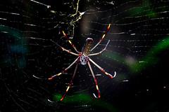 Panama - Spider (Zason Smith Photography) Tags: zason smith zasonsmith widget jason canon spider panama panamacity jungle jasonsmith jasonsmithphotography jasonsmithphotographysmugmugcom httpswwwzasonsmithphotographysmugmugcom