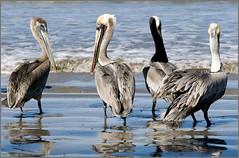 pelicans4 (tesseract33) Tags: world light color art beach pelicans nature birds mexico nikon wildlife pelican beaches nikondigital nikond300 tesseract33 peterlangphotography