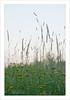 spighe (Andrea Rapisarda) Tags: nature tramonto zoom bokeh natura sicily tele etna sicilia controluce 200mm sfocato spighe sigma70200mm ©allrightsreserved fioridicampo