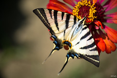 beauty of a tiger butterfly