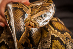 Ssssssssnake (JRT ) Tags: shadow cold beautiful studio eyes nikon shoot hand snake patterns flash tripod fingers sid nails crushing scales stare python backlit staring softbox coils backlighting strobes coldblooded 2470f28 forkedtongue triggers d300s jrwphotography johnwarwood flickrjrt jrwphotographycouk