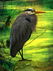 Heron (Sonja Parfitt) Tags: heron explore stanleypark lostlagoon