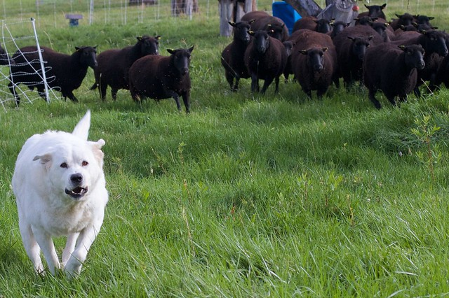 Here Come The Sheep! Dog in the Lead