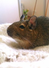 My little one (La P'tite Noisette) Tags: pet animal degu deg octodon