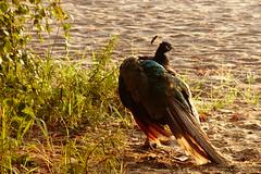 (evisdotter) Tags: morning light bird peacock fgel pfgel sooc