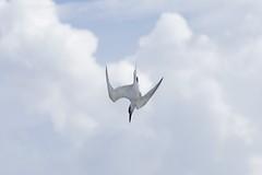 21st September 2014 (EmmaDurnford) Tags: sea bird portugal do dive diving lagoon sandwich tern foz seabird plummet sandvicensis arelho sternidae thalasseus