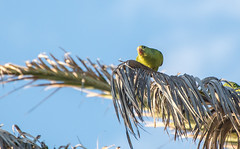 One of many wild parrots in the South Bay area (Snap Man) Tags: california bird unitedstates parrot socal palmtree southerncalifornia southbay hermosabeach losangelescounty pieravenue nikond600 byklk