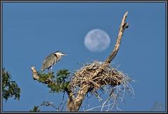 The only thing left (WanaM3) Tags: moon bird heron nature texas nest wildlife sony ngc bayou pasadena canoeing paddling greatblueheron a77 gbh clearlakecity armandbayou avianexcellence sonya77 wanam3