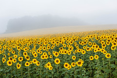 Foggy Sunflowers [explore 09-17-14] (misterperturbed) Tags: fog day sunflowers harfordcounty jarrettsvillepike hessroad