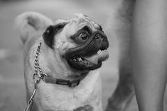 Check that out! (Jerold Tan) Tags: park dog pet animal singapore pug run bnw bishan