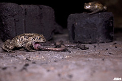 Ghost in the cellar - Common Spadefoot Toad eating earthworm, Knoblauchkröte frisst Regenwurm, Pelobates fuscus @ Torgau, Zwethau 2014 (Jan Rillich) Tags: sun nature beautiful beauty animal fauna digital photography eos keller photo flora european foto fotografie image jan eating wildlife ghost picture free sunny frog toad sachsen garlic worm common cellar torgau 2014 earthworm animalphotography anura amphibia spadefoot kellergeist europäische spadefoottoad knoblauchkröte pelobatesfuscus froschlurch pelobates garlictoad janrillich rillich frogeatingworm krötenfrösche schaufelfuskröte обыкновеннаячесночница frogeatingearthworm toadeatingearthworm toadtoadeatingearthworm toadeatingworm