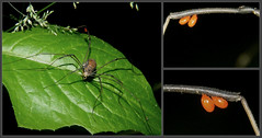 Havestman with Mites_2015.06.11 (Urutu_From_SW_PA) Tags: long legs arachnid arachnids granddaddy mites parasite daddylonglegs mite harvestman parasitic opiliones ectoparasite redmites parasiticmite parasiticmites harvestmanwithmites