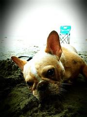 IMG_0158 () Tags: frenchbulldog beachboy iphone4   instagram