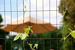 Fence with Vine and Umbrella (Bella Lisa) Tags: umbrella fence vines squash fencedfriday