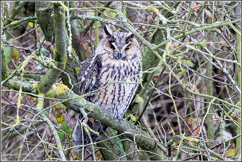 Long Eared Owl (Asio otus) obscured by the twigs.