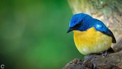 Tickell's blue flycatcher (raveclix) Tags: raveclix india canon sigma canon5dmarkiii sigma150500mmf563apodgoshsm nandihills nandi bangalore bengaluru karnataka bird birds tickellsblueflycatcher cyornistickelliae
