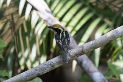 Gilded Barbet at Laguna Grande S24A4071 (grebberg) Tags: rainforest sionalodge bird lagunagrande cuyabeno amazon ecuador january 2017 cuyabenoreserve gildedbarbet barbet capitoauratus capito