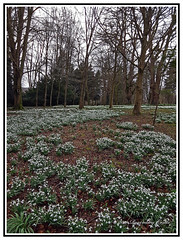 England - Nature - Flowers - Snowdrops Growing in the Woods. View full size to appreciate the beauty. (Bill E2011) Tags: england colesbourne nature flowers snowdrops spring beauty woods forest seasons