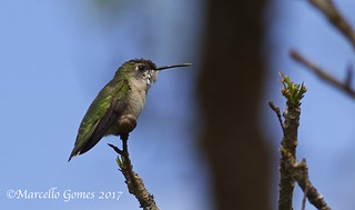Ruby-throated Hummingbird (Archilochus colubris) RTHU - St.Patrick's Hummer