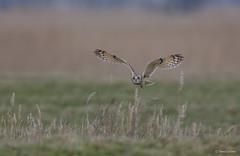 Velduil - Short-eared Owl - Asio flammeus -1783 (Theo Locher) Tags: velduil shortearedowl sumpfohreule hiboudesmarais asioflammeus birds vogels vogel oiseaux belgie belgium copyrighttheolocher
