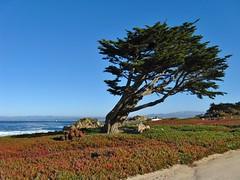 Pacific Grove, California (Jasperdo) Tags: pacificgrove california roadtrip montereypeninsula landscape scenery pacificocean pacificgrovemarinegardens tree
