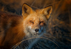 Where the Wild Things Are (Kathy Macpherson Baca) Tags: mammals clever animal amimals fox mammal vulpes male hunter candid red canine wildlife nature world planet earth beach fur sunset bay ocean sweetlight predator hunting wild