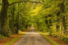 Autumn Limes. (Explored!) (miketonge) Tags: autumn lancashire garstang limetrees limeavenue treeavenue claughtononbrock stanzakerhalldrive miketonge stanzaker