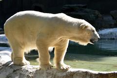 Tundra on the Prowl (Eddie C3) Tags: polarbear bronxzoo animalplanet tundra wildlifeconservationsociety