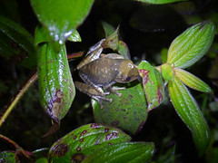 Boophis madagascariensis, Ranomafana National Park (Niall Corbet) Tags: forest nationalpark rainforest frog unesco worldheritagesite madagascar ranomafana anura boophismadagascariensis