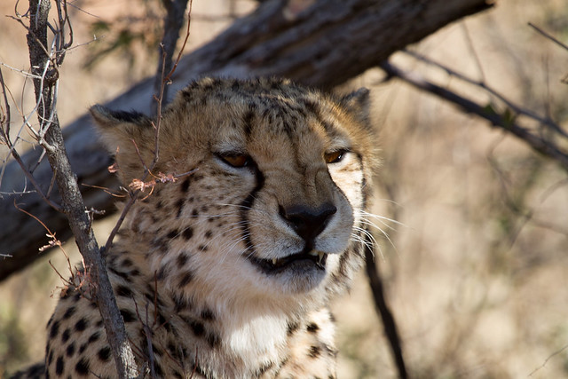 Cheetah, Madikwe Game Reserve