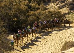 Camel ride in the Maspalomas desert (somabiswas) Tags: grancanaria ride desert camel canaryislands farodemaspalomas